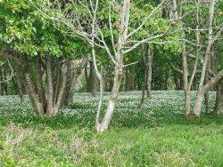Wild garlic in the woods